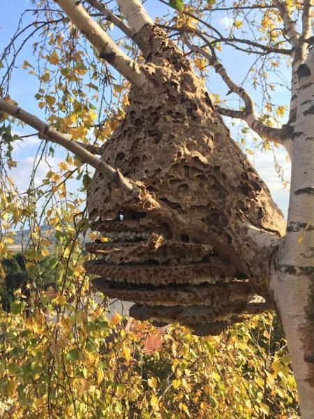 Traitement du nid de guêpe ou frelons asiatique et européen