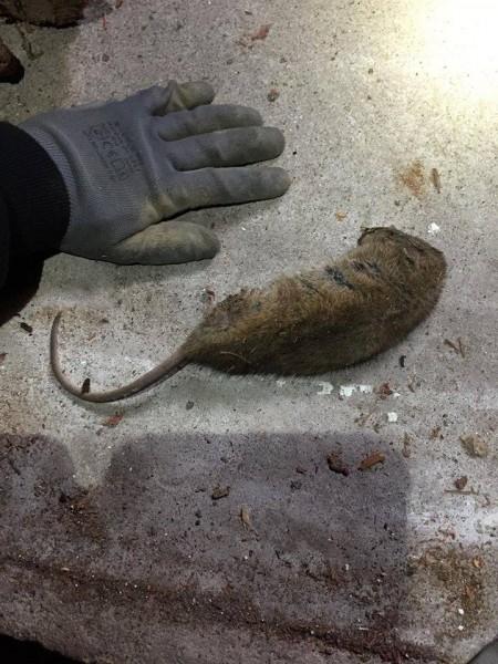 Dératisation  Rats, Souris, Lérots, Mulots
